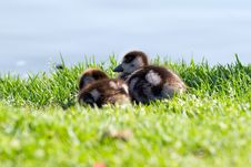 Free Baby Ducklings Royalty Free Stock Photography - 20502607