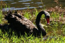 The Black Swan On The Lake Stock Images