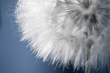 Free Dandelion Fluff Macro Royalty Free Stock Photography - 20502747