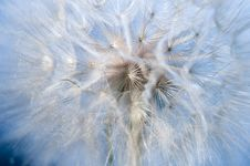 Free Dandelion Fluff Macro Royalty Free Stock Photography - 20502757