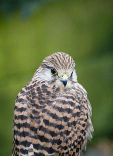 Free Kestrel Looking At Camera Stock Images - 20502924