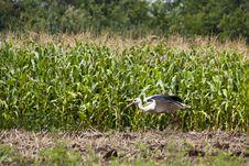 Stork Preparing For Flight Stock Photo