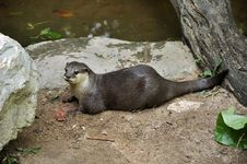 Free Otter Stock Photo - 20505390