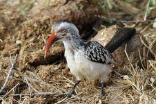 Free Red-billed Hornbill Stock Image - 20506851