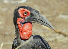 Free Ground Hornbill Royalty Free Stock Image - 20507166