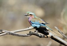 Free Lilac-breasted Roller Stock Image - 20507181
