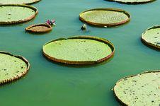 Free Victoria Lotus Leaf Stock Photos - 20508873