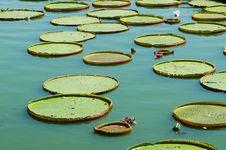 Free Victoria Lotus Leaf Stock Images - 20508894