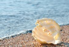 Free Shell On The Beach Royalty Free Stock Images - 20509969