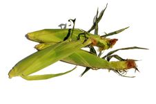 Free Corn Stock Photo - 20509970