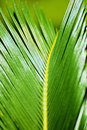 Free Leaves Of   Cycas Stock Photography - 20512102