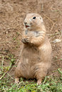 Free Black-tailed Prairie Dog Royalty Free Stock Image - 20515106