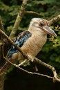 Free Kookaburra Stock Photos - 20516953