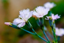Free Wild Carnations Royalty Free Stock Images - 20510179