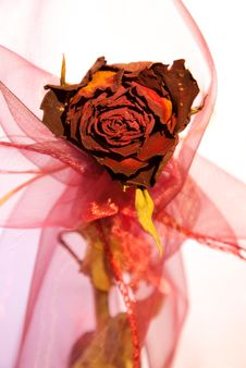 Beautiful Dry Red Rose From Front Royalty Free Stock Images