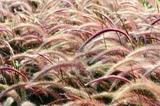 Free Bristle Grass Herb Stock Images - 20512114