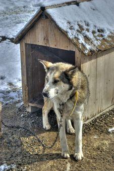 Free Siberian Husky Stock Photography - 20512602