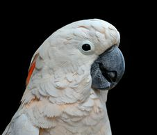 Free Moluccan Cockatoo Portrait Stock Images - 20512774