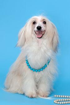 Free Purebred Chinese Crested Dog Stock Image - 20513281