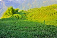 Free Tea Plantation Royalty Free Stock Image - 20513776