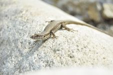 Free Lizard Royalty Free Stock Image - 20514066