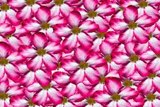 Free Background Pink Flower Royalty Free Stock Photo - 20514175