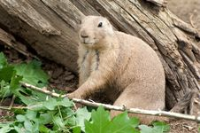 Free Black-tailed Prairie Dog Royalty Free Stock Image - 20515116