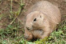 Free Black-tailed Prairie Dog Royalty Free Stock Photos - 20515118