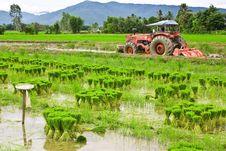 Free Rice Seedlings. Royalty Free Stock Photo - 20516075