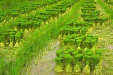 Free Rice Seedlings. Stock Photos - 20516353