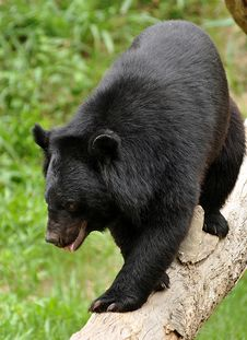 Free Asiatic Black Bear Stock Images - 20516454