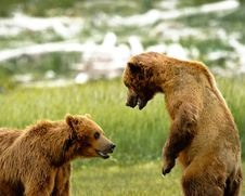 Free Alaskan Grizzly Bears Fighting Stock Images - 20517004