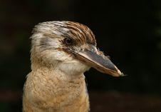 Free Kookaburra Stock Image - 20517051