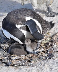 Free African Penguin Feeding Its Chick Royalty Free Stock Image - 20517096