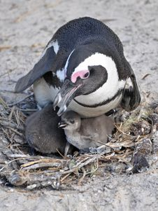Free African Penguin And Its Chicks In Its Nest Stock Photography - 20517122