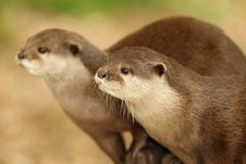 Free European Otters Stock Photo - 20517160