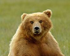 Free Alaskan Grizzly Bear Portrait Stock Photography - 20517182