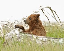 Free Alaskan Grizzly Bear Royalty Free Stock Image - 20517236