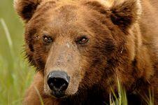 Free Alaskan Grizzly Bear Portrait Royalty Free Stock Photos - 20517298
