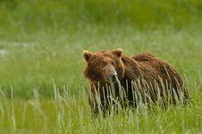 Free Alaskan Grizzly Bear Stock Image - 20517321