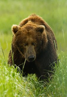 Free Alaskan Grizzly Bear Royalty Free Stock Images - 20517329