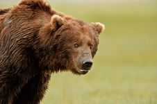 Alaskan Grizzly Bear Royalty Free Stock Images