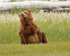 Free Alaskan Grizzly Bear Playing Stock Photo - 20517360