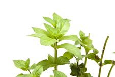 Free Peppermint Plant Royalty Free Stock Image - 20517796