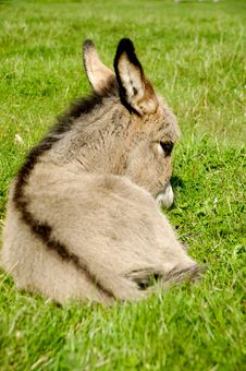 Free Donkey Foal Eating Stock Image - 20519091