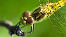 Free Dragonfly Head Royalty Free Stock Photo - 20519655