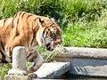 Free Walking Tiger (Panthera Tigris) Royalty Free Stock Photography - 20524947