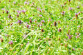 Free Meadow With Blooming Clover And A Butterfly Stock Images - 20525584