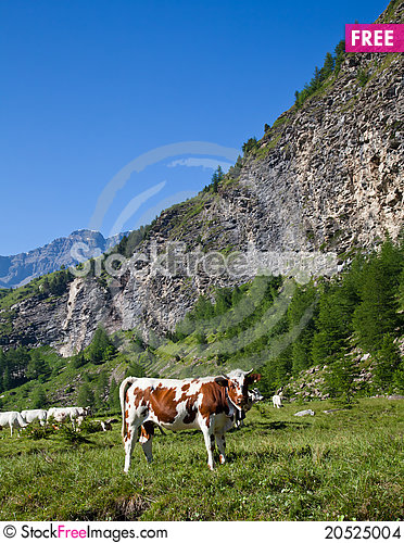 Free Cows And Italian Alps Stock Images - 20525004