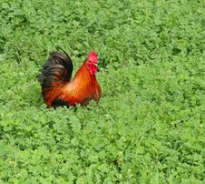 Rooster In The Grass Royalty Free Stock Photo